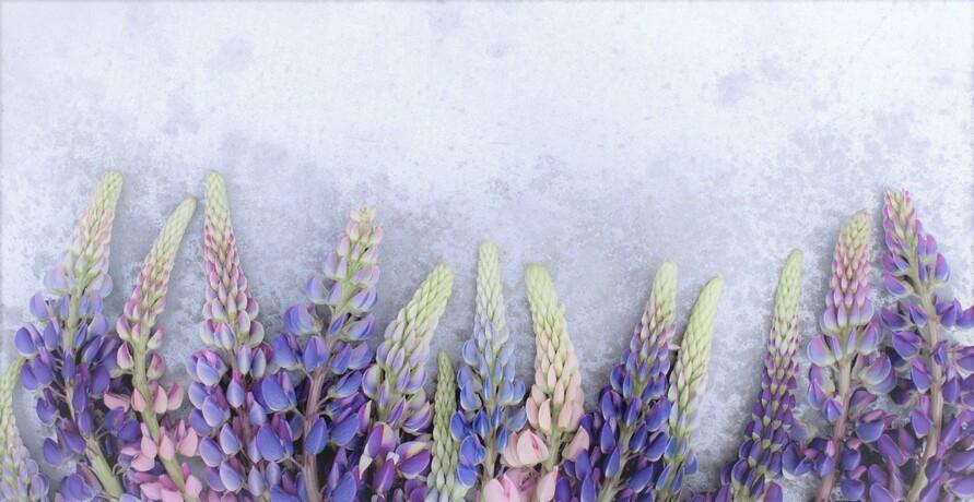 Die Lupine – Blühender Hingucker und Sojaalternative