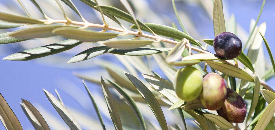 Gesund, lecker und ein Beauty Geheimnis – Naturtrübes Olivenöl mit griechischer Tradition