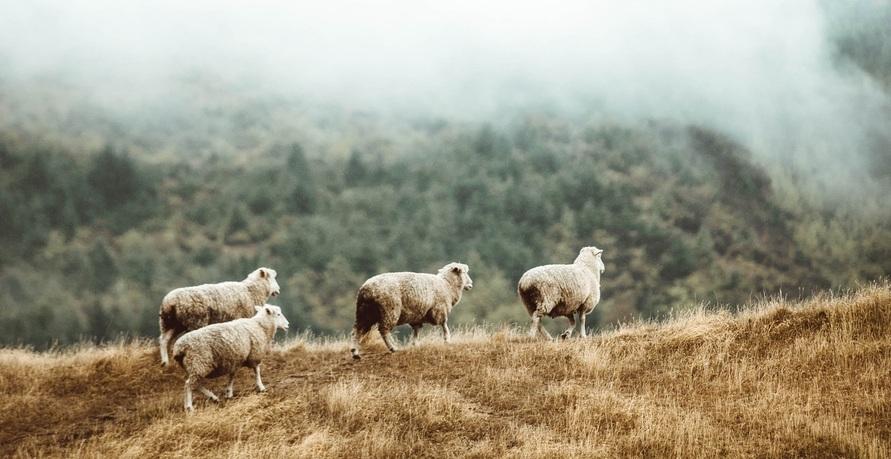 Schächtung: Gottesfurcht oder Tierquälerei?