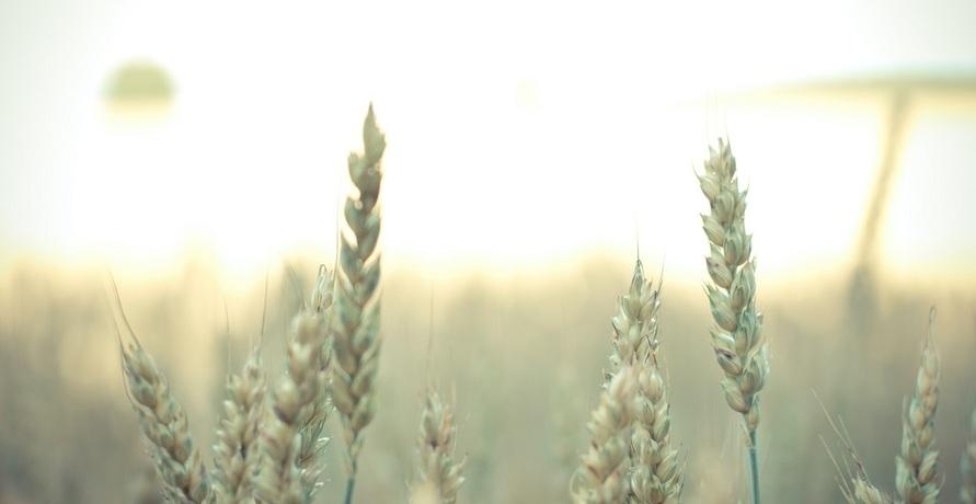 Zurück zum Urkorn – Kornelia Urkorn rettet alte Getreidesorten