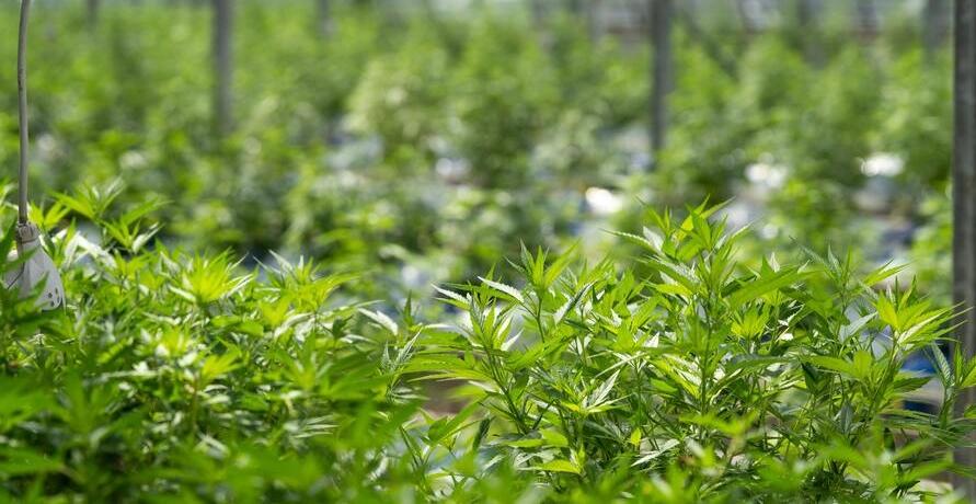 Dr. Greenthumb – nachhaltige CBD-Produkte in bester Qualität
